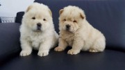 Kc Registered Beautiful Chow Chow Puppies