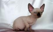 لمحبي التميز والنوادر (قط سفينكس) القط الفرعوني