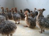 Healthy Ostrich Chicks For Sale