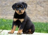 Rottweiler puppies looking for a good home.