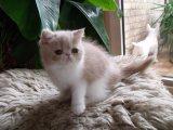Exotic British Shorthair kittens.