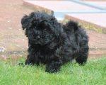 Havanese puppies for sale.
