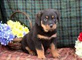 Adorable rottweiler Pups