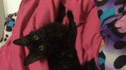 قطط شيرزاي للبيع