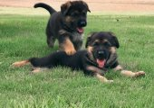 KC Registered German Shepherd Puppies for sale
