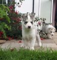 white and blue Kc Registered Pedigree Siberian Husky Puppies