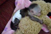 الكابوشين القرد متاح للبيع