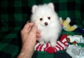 LOVELY TEACUP POMERANIAN PUPPIES FOR ADOPTION