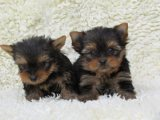 Quality Yorkshire Terrier Puppies For Sale