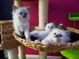 Three Ragdoll cats