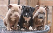 3 Pitbulls nose Dogs
