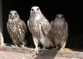 Young Gyr falcons for Rehoming
