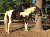 Quarter Gelding horse for sale. Male and Female
