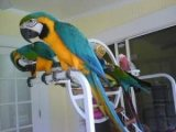 Blue and Gold Macaw Breeding Pair parrots for sale