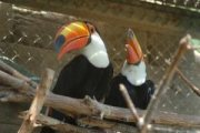 Breeding Pair of Toco Toucans for sale.