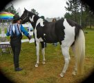 Healthy Gypsy Vanner Horse for sale