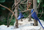 Hyacinth Macaw Parrots for Give Away