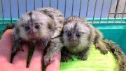 بيبي مارموسيت القرود للبيع