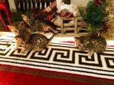Little Scottish Fold Kittens for adoption