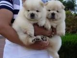Sweet & playful Chow Chow Puppies for sale