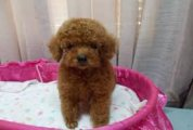 Fabulous Poodle Puppies Available for sale