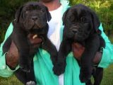 Beautiful cane corso Puppies Sale