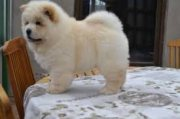 Charming AKC Chow chow puppies for sale