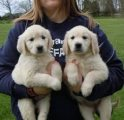 Lovely Golden retriever Puppies Available for sale