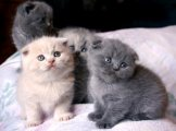 Cute Male and Females Scottish Fold Kittens For Sale