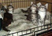 TICA Maine Coon Kittens for Sale