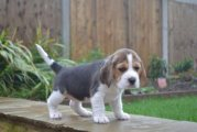 Show Quality Beagle Puppies