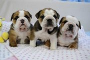 Exceptional English Bulldog Puppies