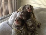 Cute  Marmoset monkeys  Available
