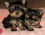 SUPER CUTE Yorkie Babies Available