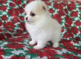 All White Pomeranian puppies for sale