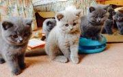 Best Blue British Short hair Kittens