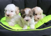 Playful Maltipoo Puppies Available For Sale