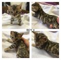 Purebred F1 Savannah Kittens For Sale