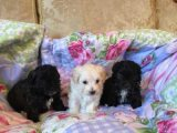 Beautiful Female Maltipoo Puppy  Ready