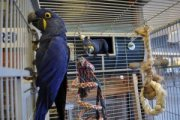 Hyacinth Macaw Breeding Pair With Wrought Iron Cage And Nest Box