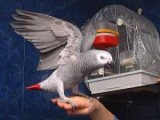Female African Grey Parrot for Adoption