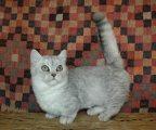 Beautiful Munchkin Kitten