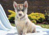 ,Cute Siberian Husky Puppies For Sale
