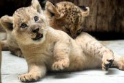 Cute quality baby lions for sale.