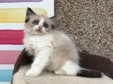 Grand Champion Sired Ragdoll Kittens for sale.