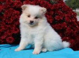 Toy Pomeranian 1 Male and 1 female Available for sale.