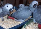 African grey parrots for sale