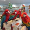 Well Trained Macaw Parrots For Sale