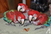 Affectionate Macaw Parrots For Sale
