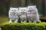 Male and Female Persian Kittens For Sale